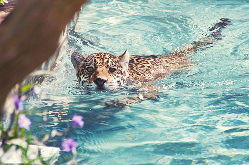 beautiful, leopard, water