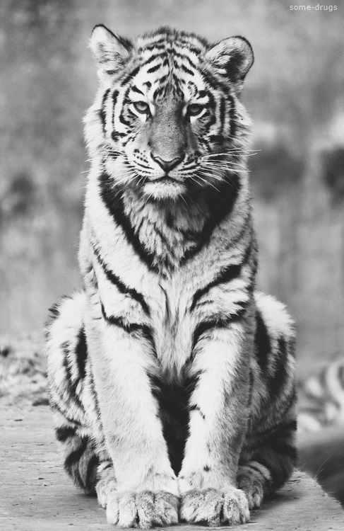 Wiseeyes via tumblr image 807375 by alroz on - Tiger stripes black and white ...