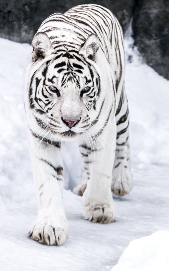 The Truth About White Tigers  Crown Ridge Tiger Sanctuary