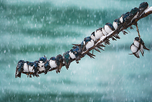 snow, winter, birds, photography, swallow, rain, tree