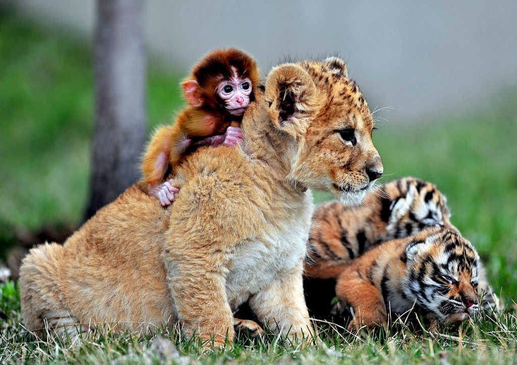 animals, baby animals, baby lion and baby tiger