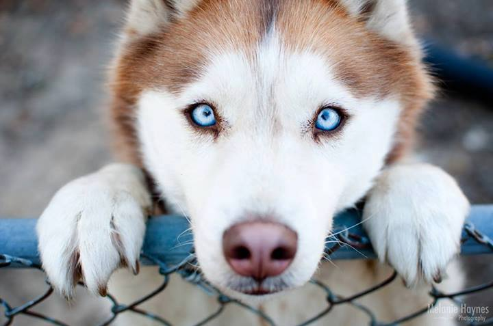Cute white wolf pup with blue eyes