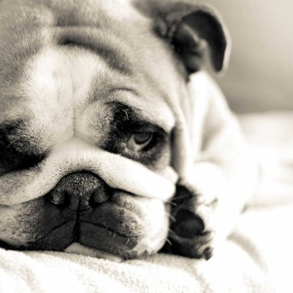 Cute Sad Dog Face Sad Bulldog Face