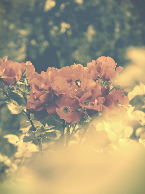beautiful, photography, flowers, hipster, nature, pink