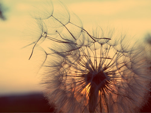 beautiful, blue, cool and dandelion