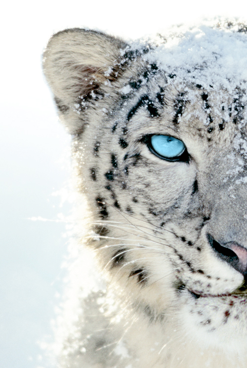 Tiger Blue | via Tumblr - image #1050332 by awesomeguy on ...