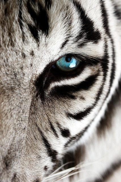 animal  blue eye  eye  eyes  tiger  white tiger  wildWhite Siberian Tiger Eyes
