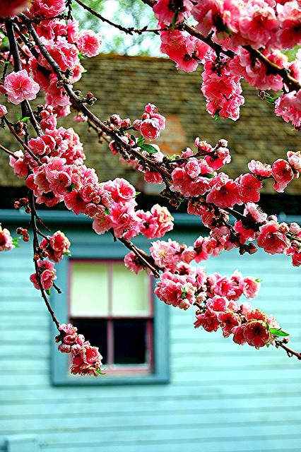 amazing, beautiful, blossoms, cherry blossoms, cool, floral, flores, flowers, green, house, life, lovely, lucy, naturaleza, nature, nice, pastel, photography, pink, pink blossoms, primavera, rosa, spring, turquoise, window